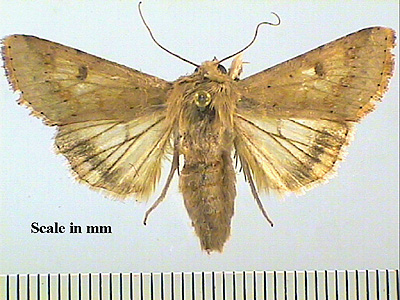 Moths Of Jamaica Helicoverpa Zea Family Noctuidae