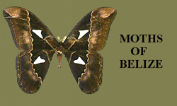 MOTHS OF BELIZE